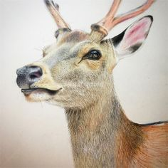 Take a look at our widest choice of top animals artists and wildlife artists who love illustrating ANY animal including mammal, bird, reptile, fish, farm and pet animals. Pencil Art Drawings, Realistic Drawings, Colorful Drawings, Animal Sketches, Animal Drawings, Color Pencil Sketch, Deer Drawing, Goat Art, Nature Illustration