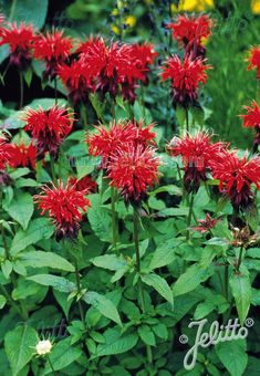 The hummingbirds are making their migration up north! Get ready to enjoy their company in your garden all summer long by planting monarda! With red flowers and hardy from Zone 4-8, this Monarda didyma [Goldmelisse] will bring the hummingbirds all season long! Red Flowers, Beautiful Flowers, Homemade Tea, Natural Ecosystem, Downers Grove, Medicinal Herbs, Grow Your Own, Hummingbirds, Bats