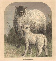 Sheep, Lamb, Hand Colored Engraving, Print, Matted, Original 1899 #antique