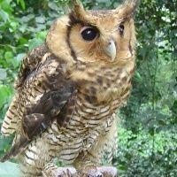 Fraser's Eagle Owl (Bubo poensis)