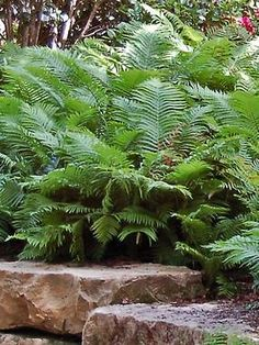 Ostrich Fern The King -- 3-7 ft. tall. Plant 3-4' apart. Half sun-Full Shade. Great for a shady area that's hard to mow or where semi-privacy is needed.