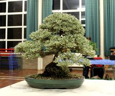 bonsai coprosmia