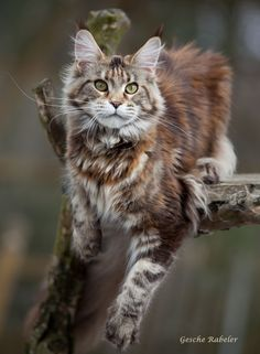 animals and pets Find out what a Maine Coon Temperament is like compared to other breeds and if they have a friendly cat temperament or are wild like some believe. Gatos Maine Coon, Maine Coon Kittens, Ragdoll Kittens, Cats And Kittens, Funny Kittens, Bengal Cats, White Kittens, Adorable Kittens, Tabby Cats