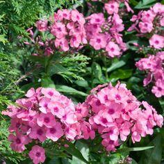 Pflanzen-Kölle Flammenblume 'Adessa® Rose Eye', 11 cm Topf.  Rosablühende Prachtstaude, die sich sehr gut zur Pflanzung in Gruppen eignet. Bienenweide und Schmetterlingsmagnet, auch als Schnittblume zauberhaft.