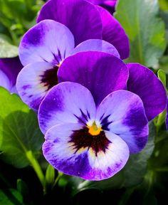 Les fleurs - pensées