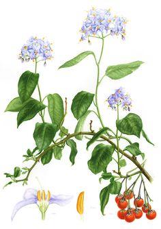 IŞIK GÜNER Botanical Art. Solanum crispum . Chile.