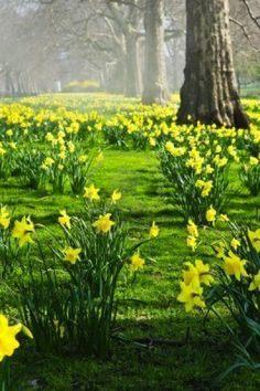 Blooming narcisos en St James Park en Londres