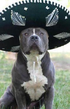 El Gringo Bully..