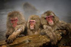 温泉を楽しむニホンザル Japanese monkeys enjoying hot spring