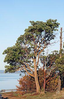Arbutus menziesii - Madrone - cider, decoration, medicine from bark