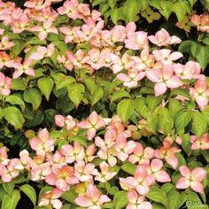GS9035.1 Pflanzen - Baum & Strauch - Laubgehölze - Roter Blumenhartriegel 'Radiant Rose'