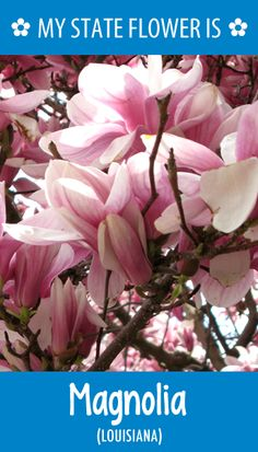 #Louisiana's state flower is the Magnolia. What's your state flower? http://pinterest.com/hometalk/hometalk-state-flowers/
