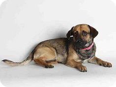 San Pedro, CA - Chihuahua. Meet DENNY, a dog for adoption. http://www.adoptapet.com/pet/13187437-san-pedro-california-chihuahua