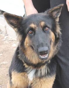 Still Available 10/28/14: This gorgeous girl is in URGENT need of a home or rescue. SEDONA is a wonderful young adult female German Shepard mix currently available for adoption. She is living at the Parker-La Paz Animal Shelter in Parker, AZ. Please call 928-669-8774. This is NOT a no-kill shelter, she can be euth'd at ANY TIME. Please share!!