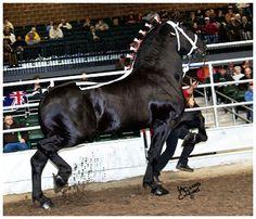 Percheron (Diligencier type) stallion Windermere's North American Maid