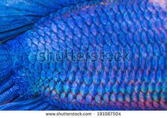 Close-up on a fish skin - blue Siamese fighting fish - stock photo