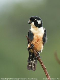 Black-thighed Falconet, a tiny little falcon the size of a sparrow.