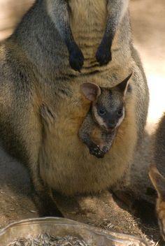 Baby Kangaroo ridesharing with mom!