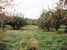 Apple Orchard by Kristin McKee
