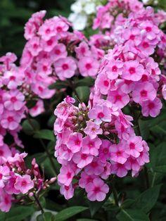 Phlox paniculata Eva Cullum Garden Phlox Type: Perennials Height: Tall 2-4'