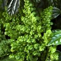 10 Easy-to-Grow Terrarium Plants: Artillery Fern