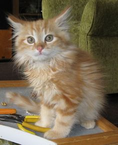 Maine coon kitten Rudy....gorgeous