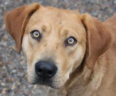 Trevor - Hound mix - Male - Adult - Bella Vista Animal Shelter - Bella Vista, AR. - https://www.facebook.com/Bella-Vista-Animal-Shelter-339163886249/ - http://bellavista-animalshelter.org/search/?type=dog - https://www.petfinder.com/petdetail/30881311