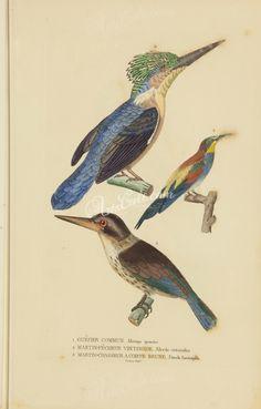 European Bee-eater, Madagascar Kingfisher, dacelo fuscicapilla      ...