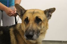 At the Coffeyville Friends of Animals, a gorgeous senior German shepherd has been reported to have been a K-9 officer in a police department; where he served his tenure has not been revealed.