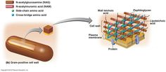 The Gram-positive Cell Wall Plasma Membrane, Cell Wall, The Cell, Amino Acids, Biology, Anatomy, Positivity, Medicine, Lab