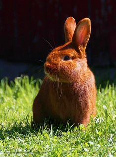 This is the kind of bunny I want when I'm an old lady--A thrianta rabbit. It looks like a ginger. I'd also be happy with a Holland Lop.