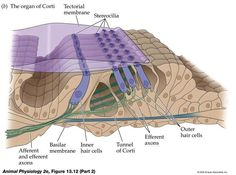 inner and outer pillar cells - Google Search
