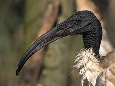 The sacred ibis (Threskiornis aethiopicus) is found throughout Africa and has been introduced into Europe, Asia, and even North America. They are gregarious wading birds that use those prodigious beaks to forage through wetlands.