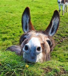 Cute Funny Animals, Cute Baby Animals, Farm Animals, Animals And Pets, Beautiful Horses, Animals Beautiful, Cute Donkey, Baby Donkey, Baby Cows