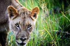 Lioness in the reeds Stock Photos Royalty Free Photos, Wolf, Pictures, Photography, Animals, Image, Google Search, Photos, Photograph