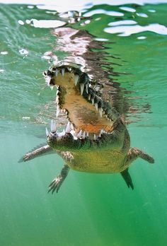 Beautiful pic of a Cuban Crocodile @ Gardens of the Queen Animals Of The World, Animals And Pets, Cute Animals, Wild Life, Reptiles Et Amphibiens, Crocodile, Shark Diving, Scuba Diving, Dangerous Animals