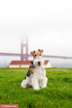 Rusty the Wire Fox Terrier.Let's hope the bridge isn't rusty too.