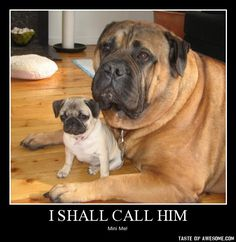 """They used to refer to pugs as """"mini-Mastiffs"""" because they are basically big dogs trapped in a little dog's body & are big little dogs. Plus, they look just like the Mastiff. Amor Pug, Animals And Pets, Baby Animals, Funny Animals, Cute Animals, Love My Dog, Pug Love, Cute Puppies, Cute Dogs"""
