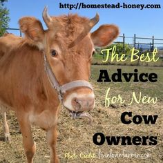 A collection of the very best advice for new cow owners, from some of my favorite homestead bloggers.