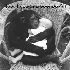 chimp cradling a human baby. Adorable as this picture is, I can't help but think of the woman whose face & hands were ripped off by a chimp attack. Maybe not so adorable. Primates, Cute Baby Animals, Animals And Pets, Funny Animals, Monkeys Animals, Wild Animals, Beautiful Creatures, Animals Beautiful, Printable Animals