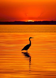 A heron silhouetted against a deep orange sunset.