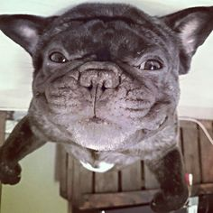 Upside Down French Bulldog.