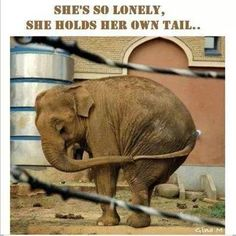 This is Mali—a lone Asian elephant who lives in a cramped enclosure at the Manila Zoo. Born in Sri Lanka in Mali was only 3 years old when she was ripped from her home and family and shipped to the zoo. Photo Elephant, Elephant Love, Funny Elephant, Asian Elephant, Baby Elephants, Wild Elephant, Funny Animal Pictures, Funny Animals, Cute Animals
