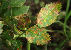 Zastosowanie Sody Oczyszczonej w Ogrodzie - Detox, Plant Leaves, Gardening, Plants, Lawn And Garden, Plant, Yard Landscaping, Planting, Planets