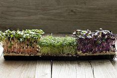 naklíčená řeřicha a ředkvička Herbs, Plants, Herb, Plant, Planets, Medicinal Plants