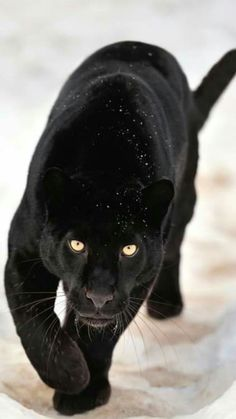 c5107ce34 Black Panther | Big Cat | Wild Cat Cat Art, Animal Pictures, Animals And