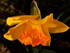 "Sabina W on Instagram: ""#narzissen #osterglocken #daffodils #petalperfection #petal_perfection #blossomlove #ig_blossoms #ig_blooms #fleur_noblesse #flowerpower…"" Daffodils, Flower Power, Rose, Instagram, Flowers, Plants, Floral, Daffodil, Roses"