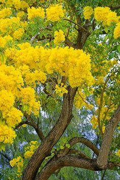 Yellow Poui