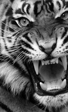 Animals Discover Tigre loco - Tiere - Home Angry Animals Animals And Pets Cute Animals Wild Animals Tiger Wallpaper Animal Wallpaper Wallpaper Art Wildlife Photography Animal Photography Angry Animals, Animals And Pets, Cute Animals, Wild Animals, Tiger Drawing, Tiger Art, Tiger Tiger, Tiger Sketch, Bengal Tiger