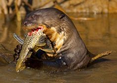 A 6 foot otter!? Giant River Otter